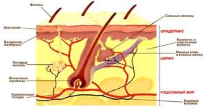 Внутренний, глубокий слой - собственно кожа, или дерма.  Она построена из плотной соединительной...