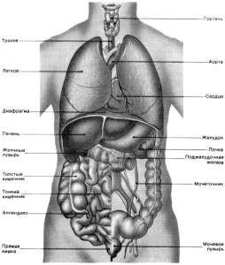 Анатомия человека в картинках органы,рисунок органов человека,схема расположения органов человека,органы человека...