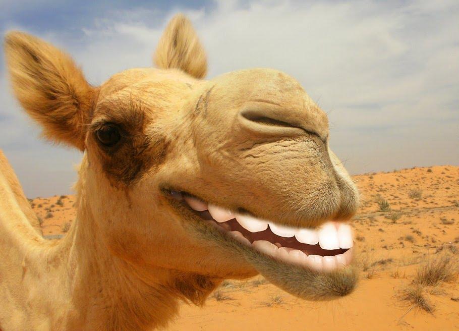 Картинки с верблюдом смешные