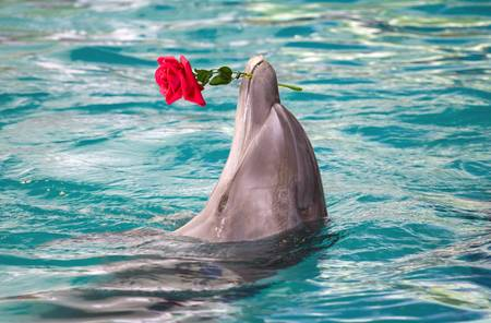 74539357-close-up-dolphin-holding-flower-in-mouth.jpg