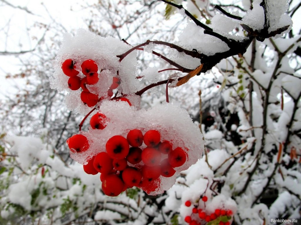 Открытками кирове, картинки анимация рябина на снегу
