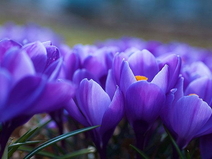 много, крокусы, цветы - (картинка, изображение, фото, обои 318488)