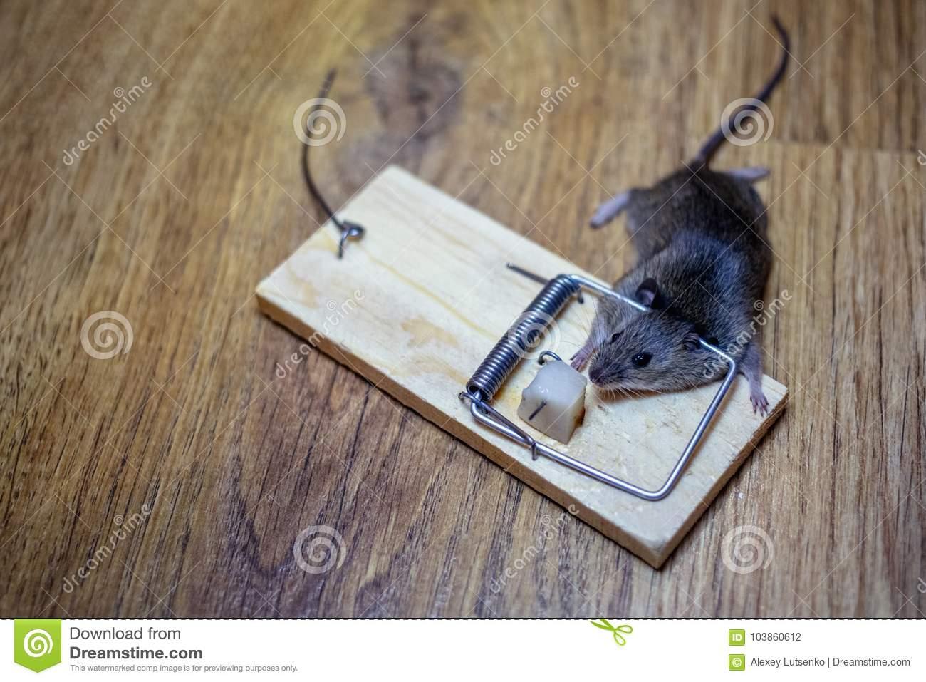 мертвая-мышь-в-мышеловке-на-поле-103860612.jpg