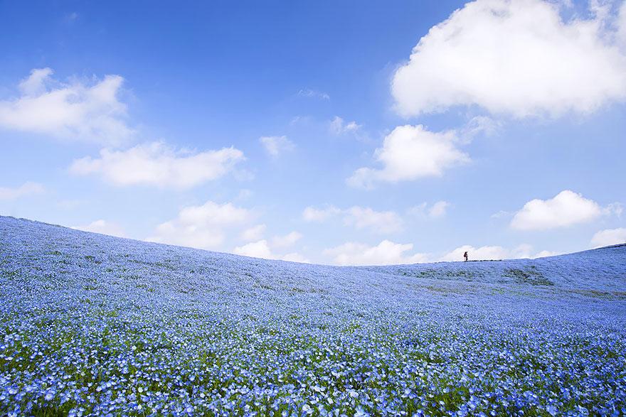 nemophilas-field-hitachi-seaside-park-4.jpg