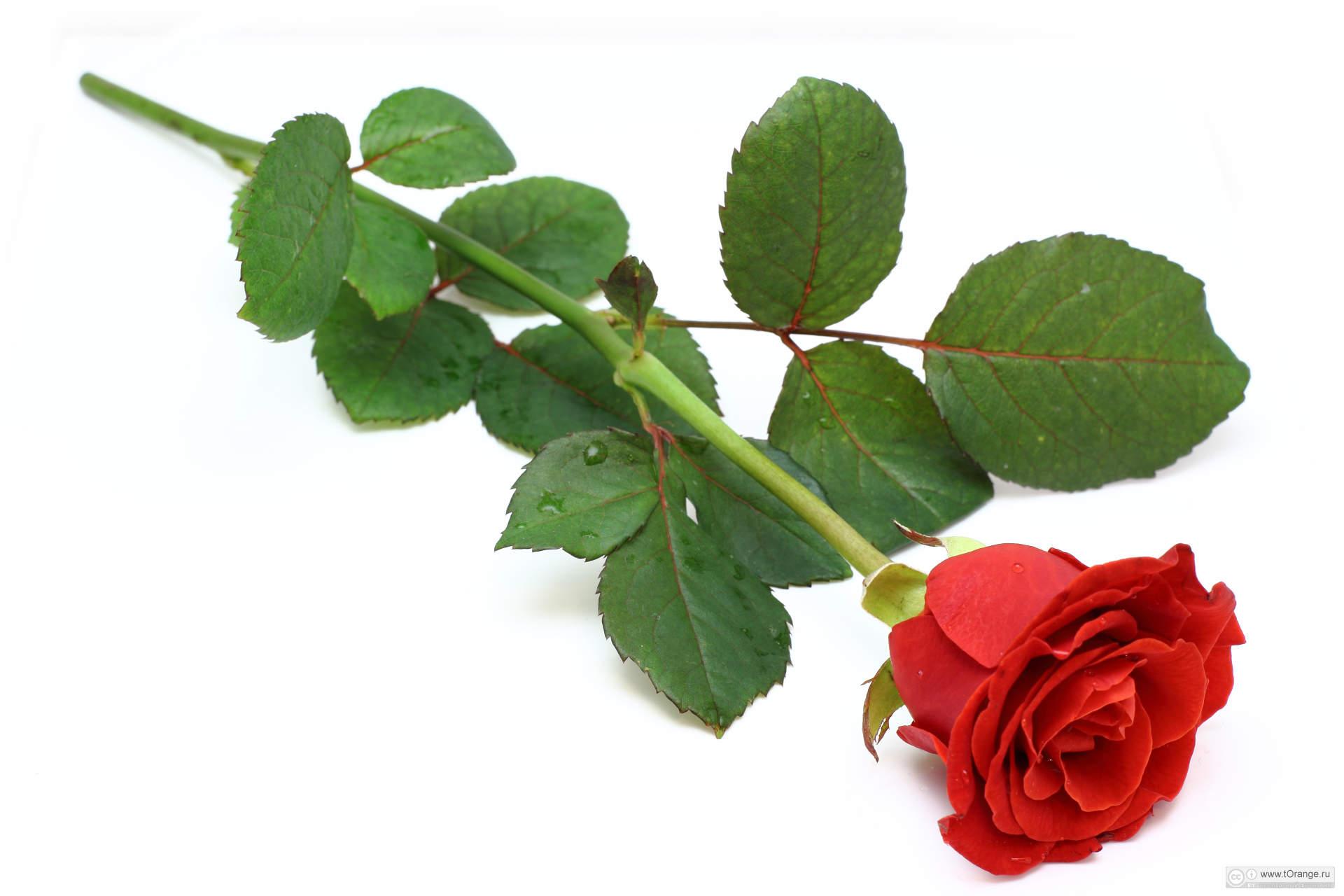 Аниме приколы, открытки цветы розы одиночные